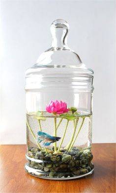 Betta/ Lotus Jar. Please no more negative comments- its the lotus, not the tank, that I'm interested in