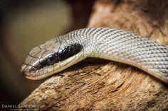 """""""Antifaz"""", fotografía de una de las especies de serpientes del Zoo Santo Inacio, Portugal."""