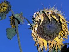 How to Harvest Sunflower Seeds for Planting Next Season   Garden Guides
