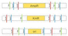 Recombinant DNA Cut and Build a Plasmid Classroom Activity