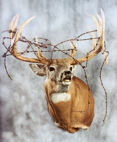 Cool mount if it was harvested with the barbed wire already on it.