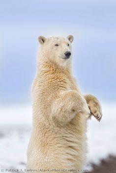 Polar bear stands up for a curious look along the shore of a barrier island in Alaska's Beaufort Sea, Arctic National Wildlife Refuge. | AlaskaPhotoGraphics.com |