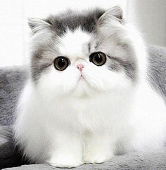 """* * """" Whys dey be callin' us exotics shorthairs whenz we be Persians? Noes mistaken a cat dat looks like it walked into a wall. Nose almosts gone too."""""""