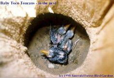 Baby Toco Toucan (Ramphastos toco)