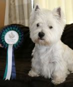 West Highland Terrier Proper Haircut | We breed and show Westies, so we know what they should look like.