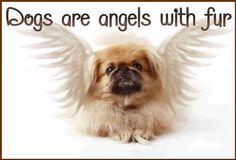 Pekingese Angel - Google Search