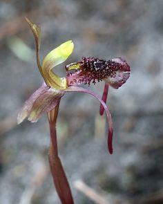 Orchid: Chiloglottis reflexa, by Macro Orchids Tasmania, via Flickr