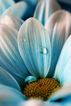 (RE&D) Most would think this is a beautiful photo because it looks so natural and perfect, I like this photo because the flowers blue…and it's a big daisy. My Flower, Pretty Flowers, Ocean Flowers, Beautiful Flowers Pics, Photos Of Flowers, Flower Close Up, Flower Pictures, Fotografia Macro, Macro Photography