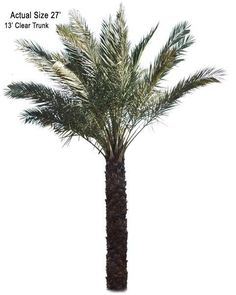 True Date Palm Tree - Welcome to your local online nursery, offering cheap and affordable wholesale discounted plants and palm trees, packaged and shipped around the world! RPT can help achieve your vacation resort in the comfort of your home with a great staff, full of ideas and landscape architects ready to design on any budget. Contact us at www.RealPalmTrees.com if you have questions about planting or installing or needing help importing or exporting fresh plants and palms!