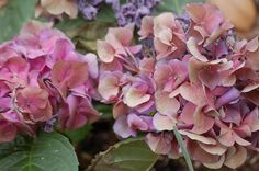 Late winter is the time to prune some trees and shrubs. One shrub that perplexes many gardeners is the hydrangea. With many different types of hydrangeas Poisonous Plants, Edible Plants, Common Garden Plants, Types Of Hydrangeas, Poison Garden, Hydrangea Paniculata, Hydrangea Not Blooming, Pepper Plants, Plant Science