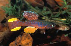 Gallery Fish Photos - Diapteron fulgens