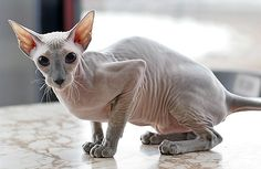 In Russia graced the world with the creation of the Peterbald - a hybrid between a Russian Hairless (Donskoy) and an Oriental Shorthair female. They have a narrow, long head, webbed feet and a long rat-like tail. Hairless Animals, Hairless Dog, Sphynx Cat, Chat Oriental, Cat Ideas, Gatos Cool, Rex Cat, Exotic Shorthair, Super Cute Animals