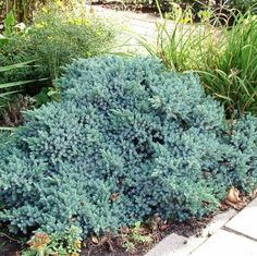 "Képtalálat a következőre: ""juniperus squamata blue star"" Juniperus Squamata, Blue Star Juniper, Cactus, Buy Christmas Tree, Blue Plants, Garden Cafe, Low Maintenance Plants, Lombok, Super Natural"