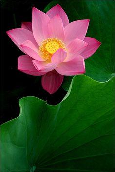 http://metta-yogini.tumblr.com/post/33507456349/j2-gallery-lotus-flower-mg-4877-500-by-bahman