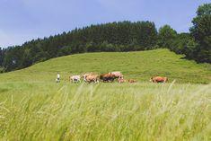 Kräuterreiche Berg-Weideflächen Dolores Park, Animals, Travel, Free Range, Cattle, Agriculture, Animais, Animales, Animaux