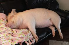 Esther-MiniPig-adoptada-notasdemascotas.com-3 Esta pareja pensó adoptar una Mini Pig , pero obtuvieron 670 libras de ternura