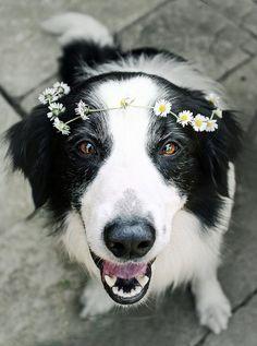 #bordercollie flower girl :)