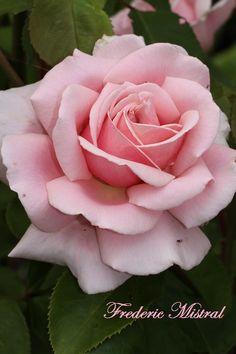 1000 images about roses on pinterest rostock david. Black Bedroom Furniture Sets. Home Design Ideas