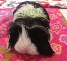 Guinea Pig Sweater ~ Free Crochet Pattern