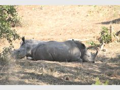 KNP announces a drop in rhinos poached in 2018 - Corridor Gazette Rhino Poaching, Surviving In The Wild, Rhinos, Hippopotamus, I'm Happy, Months In A Year, Corridor, Charity, Survival