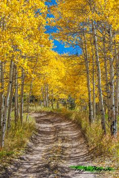 Autumn on Medano Pass / A canopy of golden aspen leaves on Medano Pass.