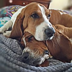 Yep! This is a good place to rest my head! (Twin basset brothers, Sherlock and Watson)