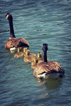 Canadian goose and goslings