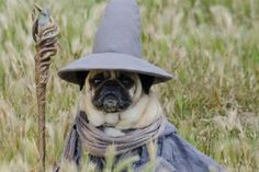 Pugs in fancy dress - Daily Record