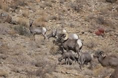 The Big Horn Sheep on Mount Peter and Paul in Kamloops
