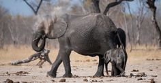 We are first and foremost African safari specialists. We are also a travel company with a difference; our partners include professional Pan-African safari guides whose knowledge, experience and passion infuse every one of our safaris. Travel Companies, African Safari, Zimbabwe, Pta, Elephants, Photo Galleries, Gallery, Animals, Animales