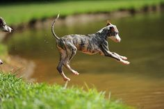 Whippet pictures from Animal Photography Stock Photos Whippet Puppies, Whippets, Horse Pictures, Animal Pictures, Greyhound Pictures, Skinny Dog, Italian Greyhound, Four Legged, Beautiful Babies