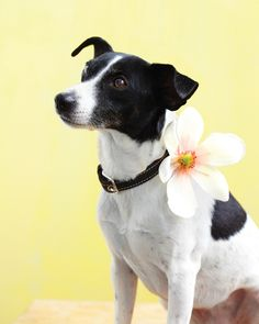 A simple snap sewn on the collar, any lightweight decoration. For the fashionista pooch on your list, embellish a dog collar with a silk bloom.