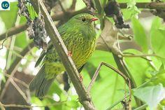 https://www.facebook.com/WonderBirds-171150349611448/ Ăn quả xanh và đen (mái); Họ Cotinga-Cotingidae; Nam Mỹ || Green-and-black fruiteater (female)(Pipreola riefferii) IUCN Red List of Threatened Species 3.1 : Least Concern (LC)(Loài ít quan tâm)
