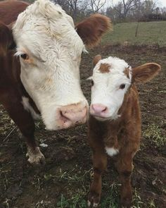 What a sweet cow and calf! Baby Farm Animals, Baby Cows, Animals And Pets, Baby Elephants, Wild Animals, Cute Baby Cow, Cute Cows, Fluffy Cows, Fluffy Animals