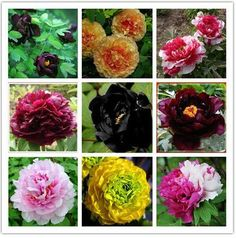 Hot Elegant Peony Flower Seeds Garden Seeds And Potted Plants Red Peony Seeds Easy to grow 12 PCS