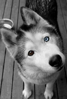 blue eye brown eye husky<3... omg i saw this in real life and they look SO cute <333