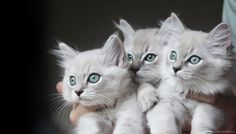 Lynx Mink Ragdoll Kittens by kazka777