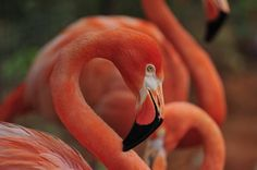 Flamingos, Bahamas Most Beautiful National Birds on Earth