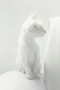 Snow White cat Tap the link for an awesome selection cat and kitten products for your feline companion! Animals And Pets, Baby Animals, Cute Animals, White Kittens, Cats And Kittens, Ragdoll Kittens, Tabby Cats, Bengal Cats, Black Cats