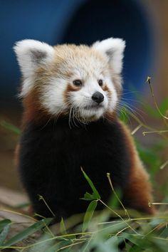 Pretty panda.