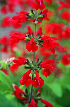 Annual Red Salvia - This is one of my favorite plants to attract humming birds. Selfseeds too.