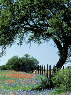 Paintbrush and Bluebonnets, Texas Hill Country, Texas, USA Photographic Print by Adam Jones at AllPosters.com