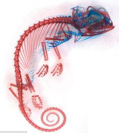 The skeleton of a chameleon embryo, by Dorit Hockman