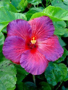 Hibiscus 'Bayou Irene'