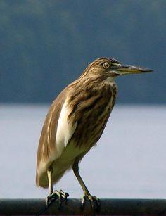 Indian pond heron - Wikipedia, the free encyclopedia