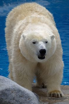 This polar bear is hungry and you are the zoo keeper in charge, what are you going to feed him?