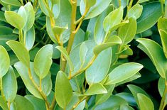 A fast growing large evergreen shrub with light green, broadly oval leaves. Flowers yellow-green very small. Grow in well drained soil in full sun. Fast Growing Hedge, Fast Growing Evergreens, Evergreen Shrubs, Trees And Shrubs, Cold Climate Gardening, Hedging Plants, Coastal Landscaping, Coastal Gardens, Plant Health