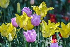 Free Stock Photo for Commercial Use - Yellow and lilac tulips