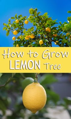 How to Grow Lemon Tree! Citrus fruits are used worldwide because of their health and beauty benefits. Besides being used for cooking purposes, citrus fruits have many therapeutic properties. Organic Gardening, Gardening Tips, Sustainable Gardening, How To Grow Lemon, Coffee World, Natural Ecosystem, Uses For Coffee Grounds, How To Make Coffee, Fruit Garden