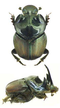 Onthophagus worissa